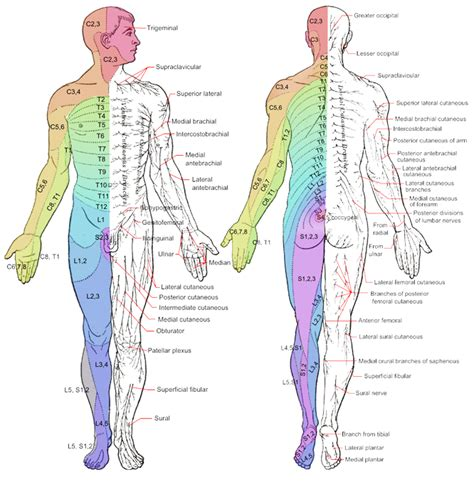 dermatomes map dermatome and myotome map dermatome map spinal nerve
