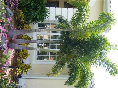 Sarasota Landscape Lighting - 16 best images about palm trees on pinterest foxtail palm sarasota florida and louis ghost chairs