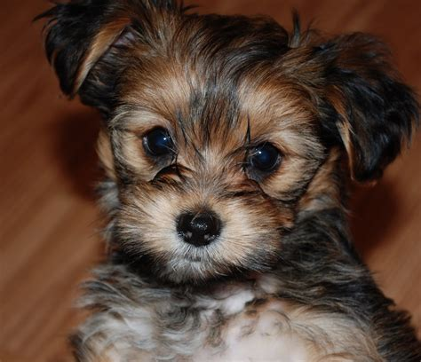 snorkie puppies shorkie grooming styles pictures hairstylegalleries