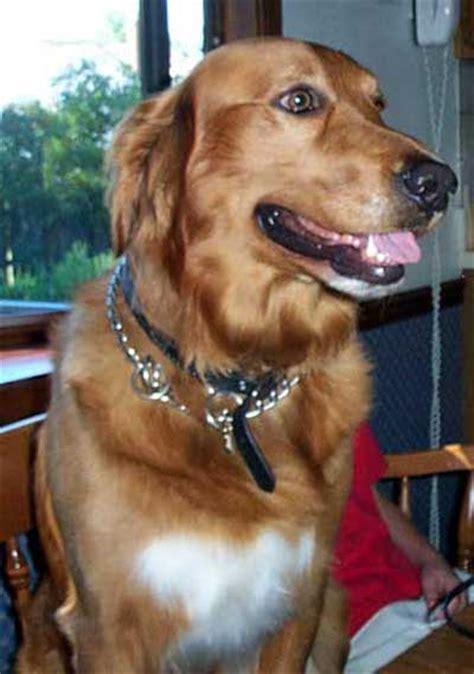 golden retriever buddy basset hound cleveland pets
