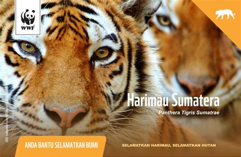 Paket Sho Kucing Kalung Kucing Motif 1 sahabat harimau wwf indonesia building a future in which humans live in harmony with nature