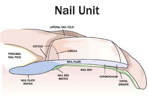what is a nail bed the nail bed part i the normal nail bed matrix stem