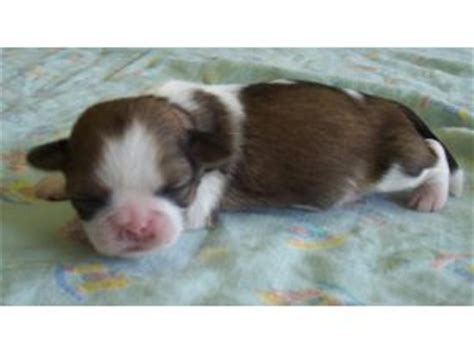 liver shih tzu breeders shih tzu puppies for sale 92092 breeds picture