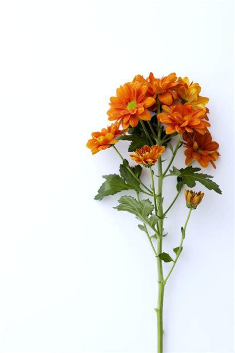 Chrisant Flower chrysant bloemen bloem en bladeren
