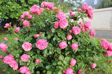 Comment Tailler Rosier Buisson by Taille Des Rosiers