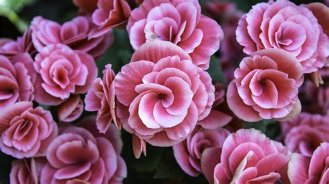 fiore definition begonia flower meaning flower meaning