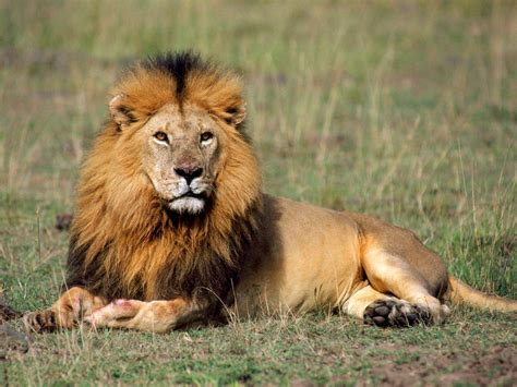 wallpaper free lion funny image collection download free mac os x lion