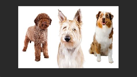 american kennel club dog breeds meet the american kennel club s three new dog breeds