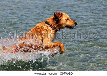 golden retriever jumping jumping golden retriever stock photo royalty free image 30323503 alamy