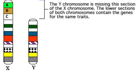Sex-linked Traits Y Chromosome Number