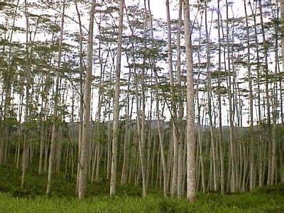 Bibit Sengon Albasia tips perawatan pohon sengon albasia kumpulan informasi