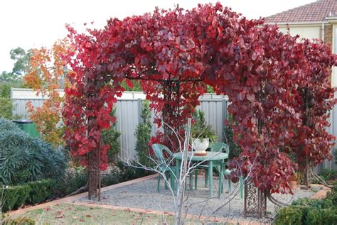 ornamental grape vine vitis vinifera 150mm grevillea - Ornamental Climbing Plant
