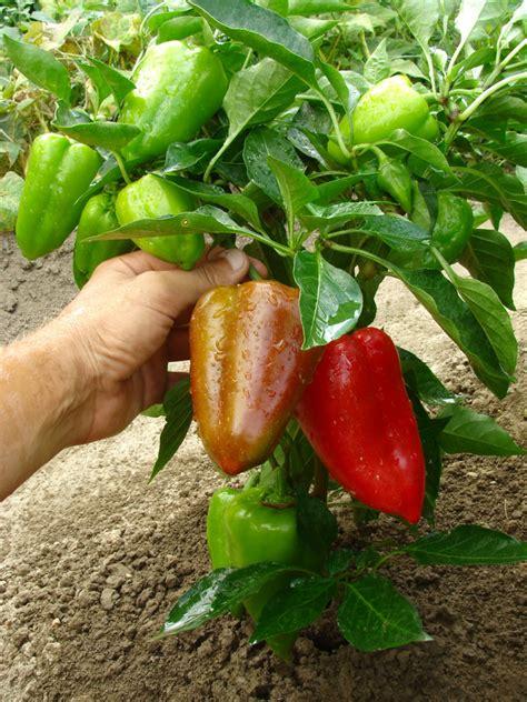 Garten Paprika Pflanzen by Paprika Pflanzen 187 So Gedeihen Sie Am Besten
