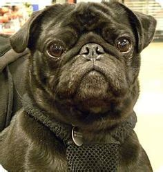 pugs for adoption in michigan adopt me pets on adoption rabbit and lionhead rabbit