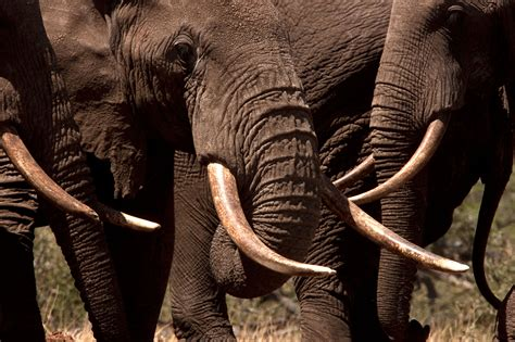 elephant ivory woolly mammoth ivory is and that s a problem for