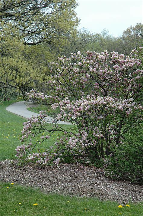 Magnolia George Henry Kern 3714 by George Henry Kern Magnolia Magnolia George Henry Kern