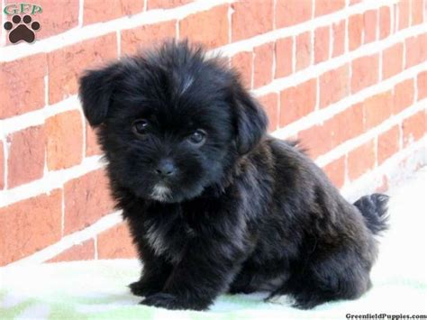 shorkie puppies for sale in pa staffan shorkie puppy for sale from paradise pa wallpaper shorkies litle pups