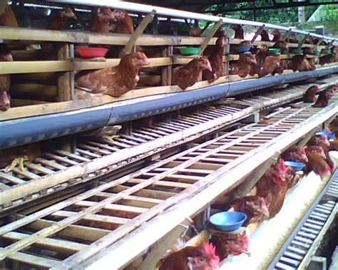 Tangguh Probiotik Untuk Ayam Petelur info harga telur unggas indonesia pemasangan untuk