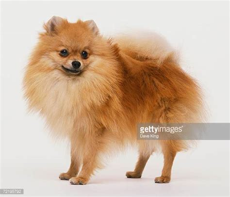 pomeranian panting pomeranian stock photos and pictures getty images