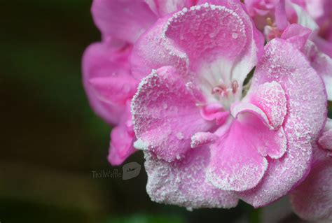Frozen Pink Flower frozen flower in summer by trollwaffle on deviantart