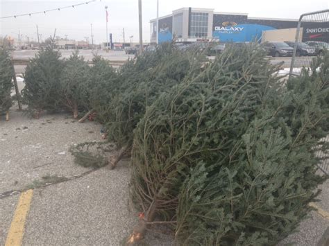 blackburnnews com good season for self cut trees