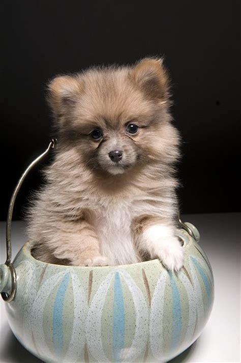 how big do teacup pomeranians get 110 best images about the of pomeranians on teacup pomeranian puppy