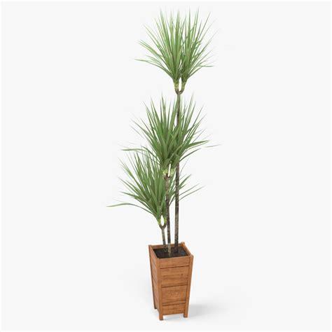 dracaena marginata 3d model dracaena marginata plant