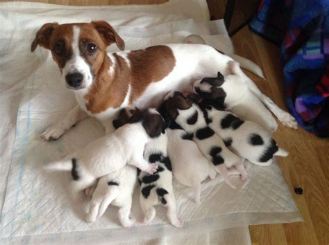 jrt puppies beautiful puppies for sale canterbury kent pets4homes