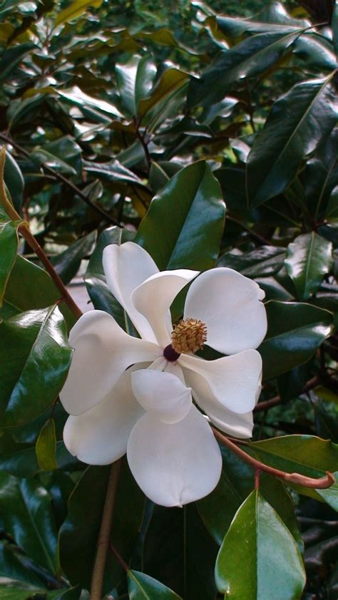 magnolia tree southern charm pinterest