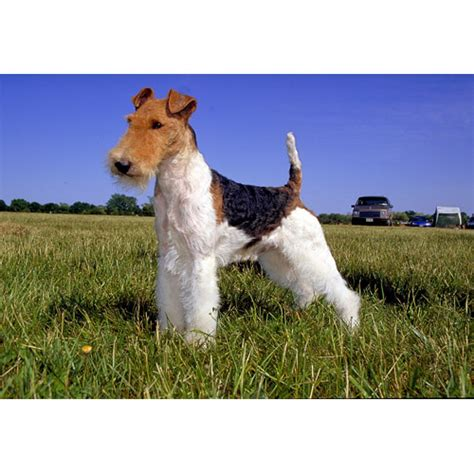 pug wire hair terrier fox terrier wirehaired breeds