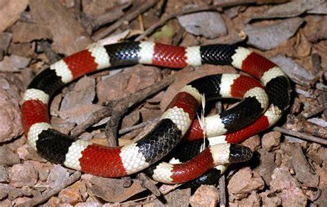 color pattern of coral snake western coral snake