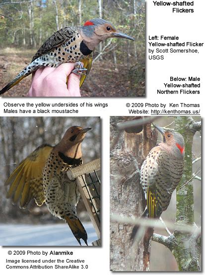 yellow shafted or northern flicker colaptes auratus