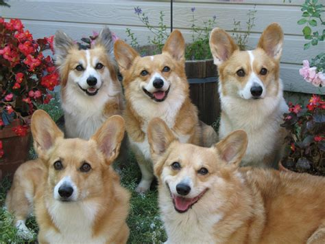 how much is a corgi puppy corgi puppies wallpaper 39627