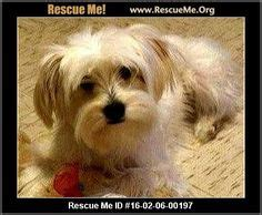 havanese rescue denver 1000 images about dogs need to be adopted havanese cotons maltese poodles