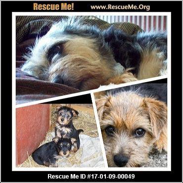 tennessee yorkie rescue tennessee yorkie rescue adoptions rescueme org