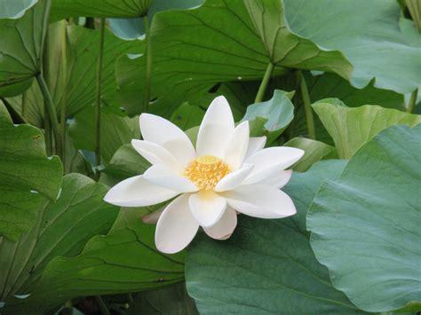 what is white lotus file white lotus zizhuyuan jpg
