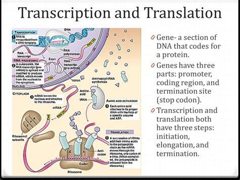 transcription  translation  video