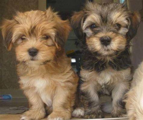 havanese   puppy pinterest havanese puppies