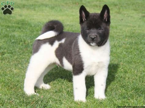 akita puppies for sale in ohio 1000 ideas about akita puppies for sale on akita akita puppies and akita