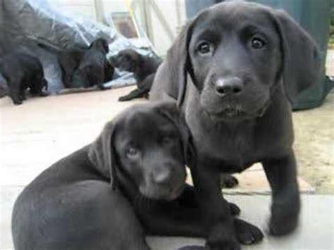 chesador puppies puppies