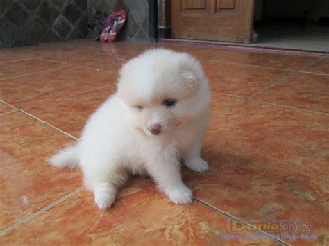anjing semua color dunia anjing jual anjing pomeranian mini pom betina