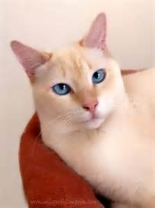 white point siamese cat blue i had one of these