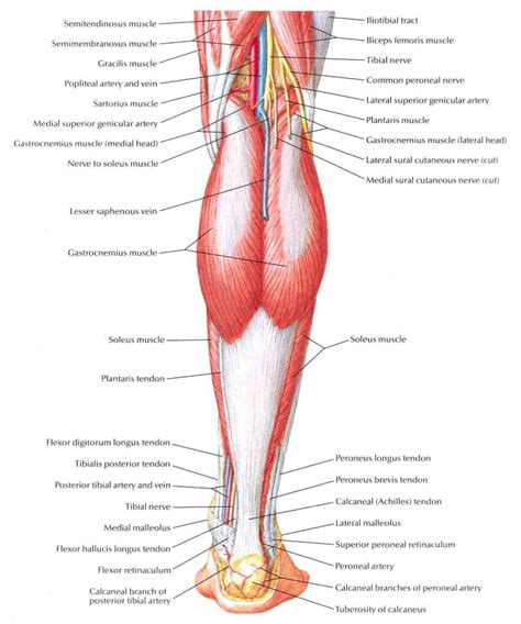 diagram of the anatomy leg diagram anatomy anatomy organ