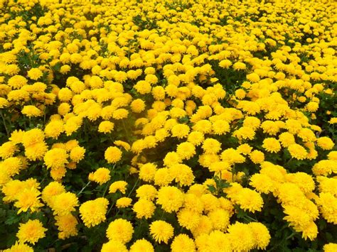 traditional yellow flowers for tet photo