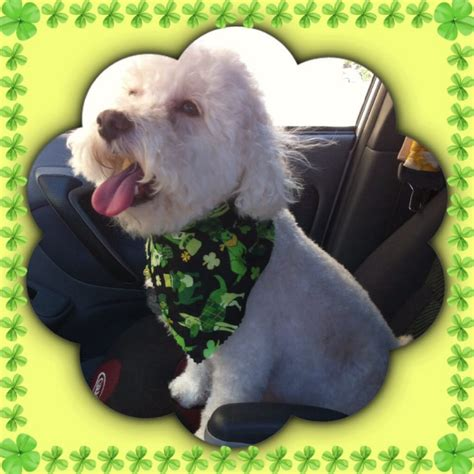 grooming near me yelp town country grooming pet groomers san carlos ca yelp