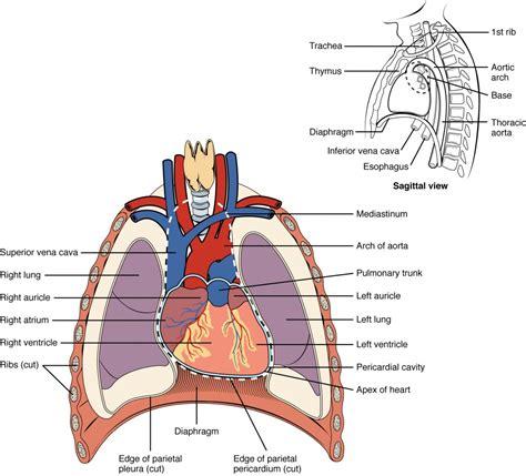 chest cavity diagram anatomy anatomy and physiology ii