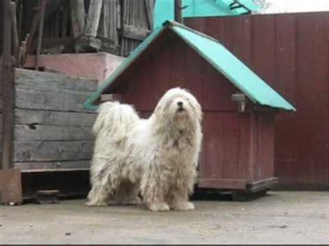 ciobanesc romanesc mioritic ciobanesti mioritici mioritic shepherd dog youtube