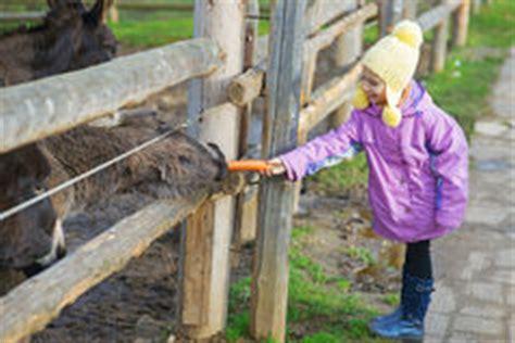 alimentazione asino asino e carota foto stock 36 asino e carota immagini