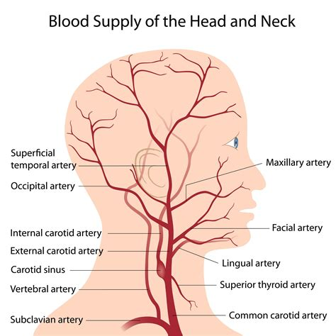arteries in the neck diagram what is pulsatile tinnitus and its causes and cures