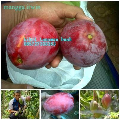 Bibit Mangga Irwin Di Makassar bibit tanaman buah mangga irwin
